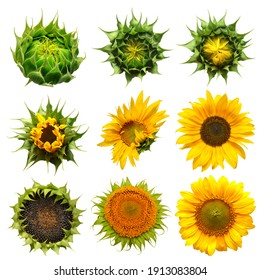 Collection sunflower flower evolution stages isolated on white background. Seeds and oil. Flat lay, top view