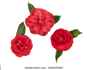 Collection of three red camellia flowers, photographed on white backlit background.
