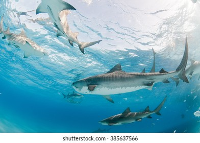 A collection of tiger and lemon sharks swimming side by side in shallow, clear water