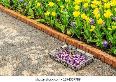 Collection tray full of violet and white pansies by a bed of yellow tulips and hyacinths with orange brick border, for themes of horticulture, gardening, spring