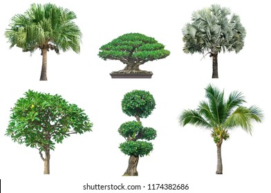 Collection tree isolated on white backgroud.It have Ribbob fan palm,Banyan tree bonsai's style,Bismarck palm, Frangipani,Ebony and coconut.