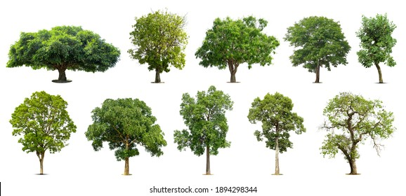 Collection of   trees  Isolated  on white background,   Exotic tropical tree for design.