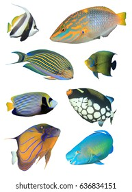 Collection of tropical reef fish isolated on white background.  Bannerfish, Wrasse, Surgeonfish, Angelfish, Triggerfish, Parrotfish.