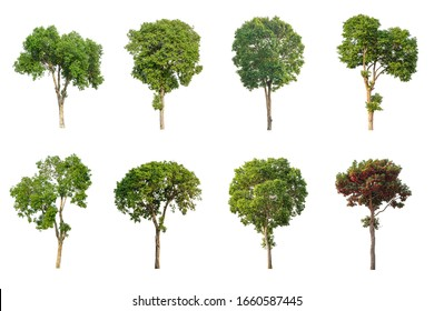 Collection of Tropical tree isolated on white background.