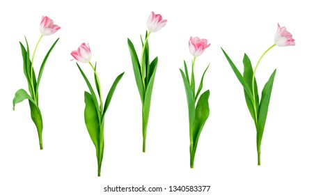 collection of tulip flowers isolated on white background with saved clipping path included