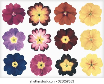 Collection of twelve colorful Primroses Isolated on White Background. Selection of the cute looking red, orange, yellow, pink, blue primrose flower. Flowers in a shabby sheek vintage and retro style.