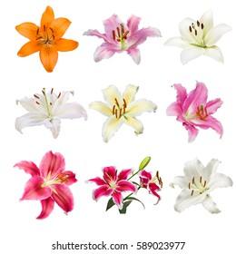 farbige Lilly-Blumen-Kollektion mit gelben, weißen, rosa und orangefarbenen Lilly-Blumen