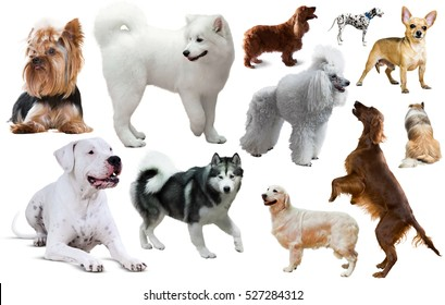 Collection of various dog breeds isolated on white