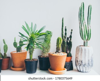 Collection of various green cactus and succulent plants in terracotta and plastic pots and concrete planter on white wooden shelf on white background. Potted cactus house plants.