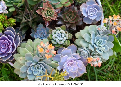Collection of various multicolored succulent plants. Succulent garden in a metallic pot. Blooming Echeveria. Top view.