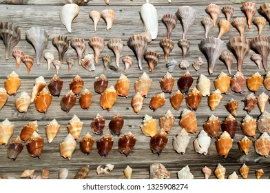 A collection of various size and types of sea shells found at ft myers beach florida, in sunshine on weathered boards.