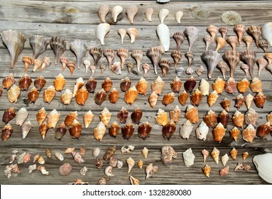 A collection of various size and types of sea shells found at fort myers beach florida, in sunshine on weathered planks.