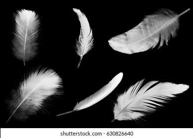 collection white feather on black background