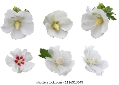 A collection of white Hibiscus flower head isolated on white background