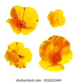 Collection of yellow flowers isolated on the white background. Eschscholzia, plants in the Papaveraceae (poppy) family. California Poppy, Eschscholzia californica, the state flower of California