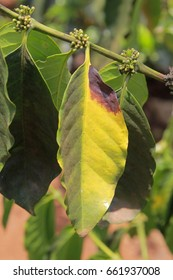 Colletotrichum boninense Causing Anthracnose on Coffee Trees
