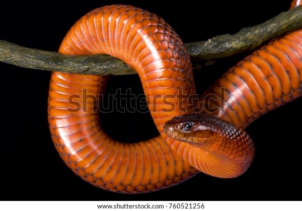 Collett's snake, Pseudechis colletti