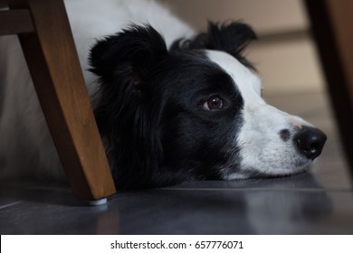 Collie contemplating