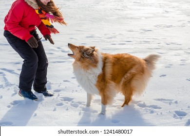 The Collie dog barks at the girl, outdoors winter landscape