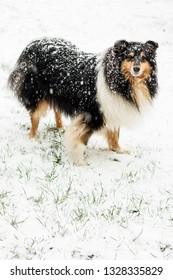 Collie dog breed in the snow