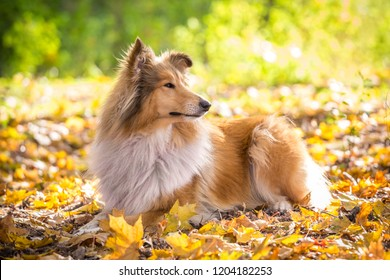 Collie dog lying down on autumn forest with golden leaves at sunlight