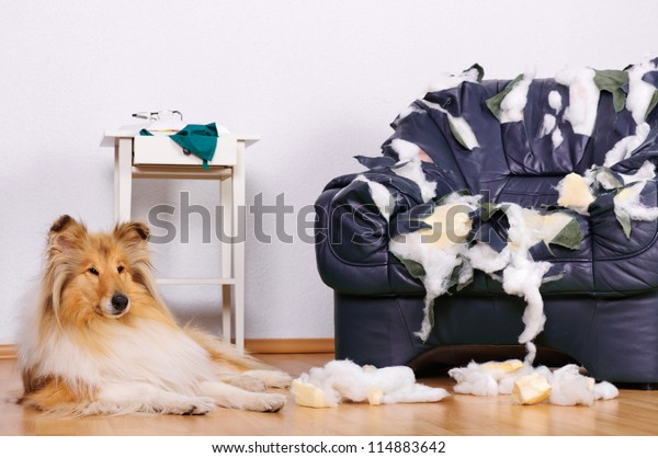 Collie dog lying on the floor in front of a destroyed chair.
