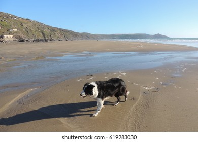 A collie dog on the beach at Whitsand Bay in Cornwall