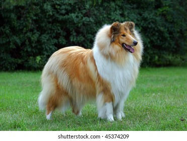 collie dog on the grass