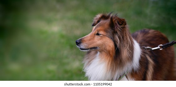 Collie dog on a lead