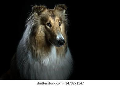 Collie Dog Portrait at Studio