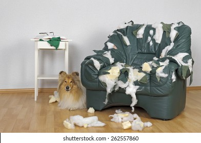 Collie dog and ruined leather chair