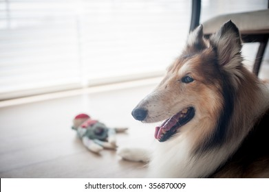 A collie is laying beside a french casement windows.
