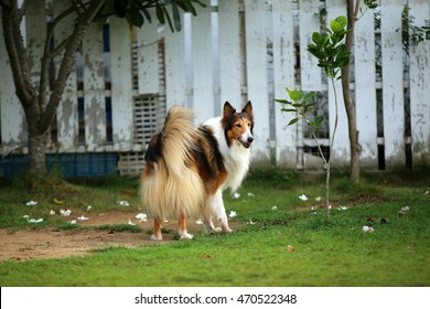 Collie, long coat dog, dog in grass field