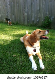 Collie mix lying on the grass with Beagle puppy in background