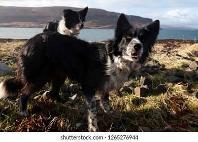 Collies playing on the beach