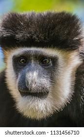 colobus monkey face closeup hd