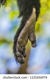 colobus monkey foot portrait closeup