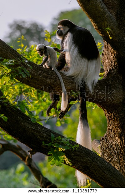 Colobus Monkey  plays with  Infant on the  tree. (Colobus guereza) .