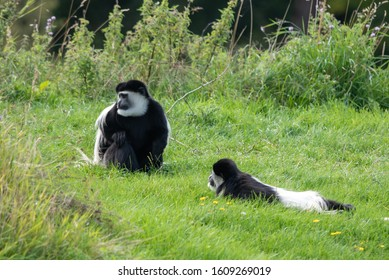 A Colobus monkey sits and waits
