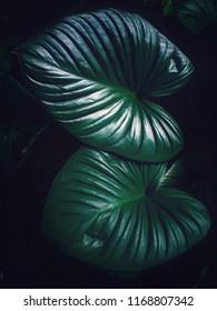 colocasia dark green leaf texture on black background