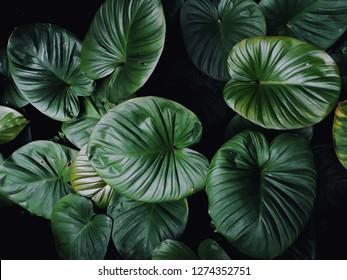 colocasia dark green leaves  texture on dark background