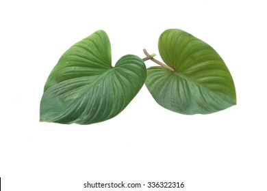 Colocasia or Elephant ear plant isolated on white background
