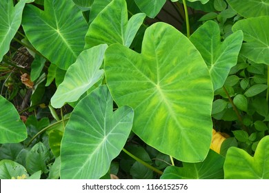 colocasia esculenta, colocasia antiquorum schott leaves, elephant ear