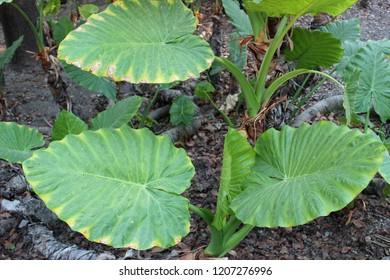 Colocasia esculenta, most commonly known as taro