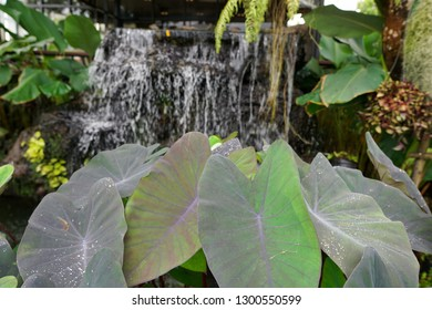 Colocasia Esculenta Plant or Elephant Ear Plant with waterfall in the garden at Thailand, Purple leaves, Taro