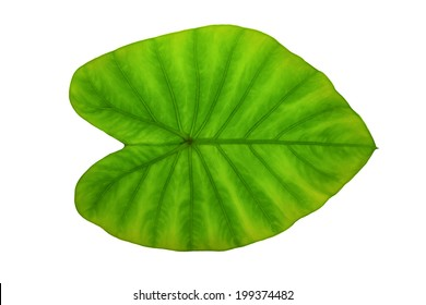 Colocasia esculenta Plant green leaf  with water drop