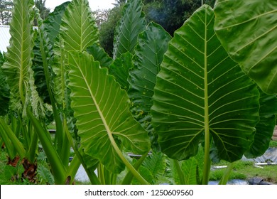 Colocasia esculenta is a tropical plant grown primarily for its edible corms, the root vegetables most commonly known as taro. It is the most widely cultivated species of several plants