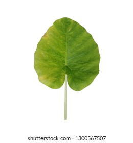 Colocasia gigantea leaf, also called giant elephant ear or Indian taro, heart shape leaf on white background.
