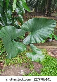 Colocasia gigantea plant