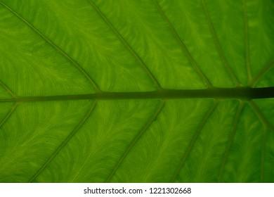 colocasia green background